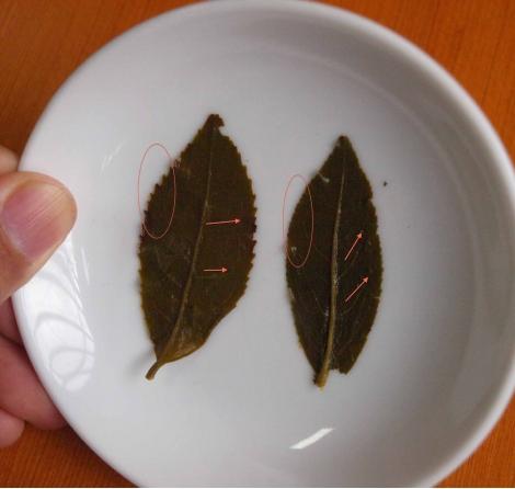 認識茶,金萱烏龍與青心烏龍辨識