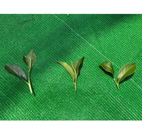 茶葉嫩採的迷思!?一起來認識茶葉成熟度!